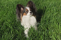Beautiful dog Papillon lies on green lawn and looks