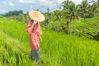Relaxed fashionable caucasian woman wearing red asian style kimono and traditional asian paddy hat walking amoung beautiful green rice fields and terraces on Bali island