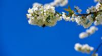 Kirschblütenzweig auf blauem Himmel im Frühling Banner