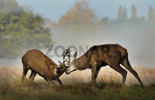 Red deer fighting during rutting season