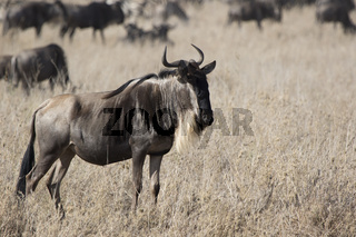 White bearded Wildebeest which stands in a dry shroud on the background of a running herd