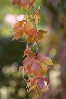 Sich verfärbende Blätter vom Wilden Wein