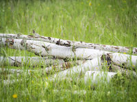 Birch trunks lying in the grass