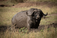 Cape buffalo eyes camera from muddy wallow