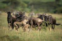 Blue wildebeest watch two cheetah throttle another