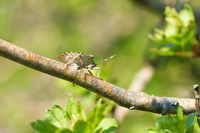 Mottled Shieldbug (Rhaphigaster nebulosa) on a hawthorn in spring