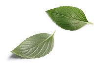 Thai Holy Basil single fresh leaves, paths