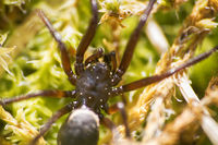 Wolf spider (Lycosidae) on green moss