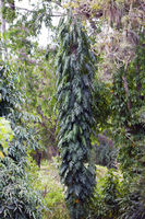 Indian mast tree (polyalthia longifolia) , the False ashoka