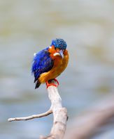 bird kingfisher, madagascar wildlife