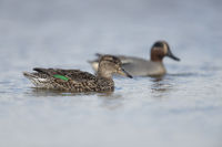 Teals * Anas crecca *, pair, couple, swimming