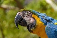 Macaw in the vegetation of the green Brazilian rainforest
