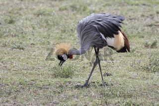 grey crowned crane that feeds in the savanna during the dry season