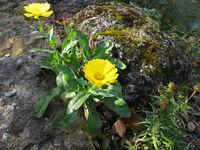 Yellow pot marigold in a rock garden