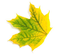 Yellowed autumn maple leaf
