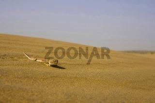 Toad Headed Agama, Sam Desert, Rajasthan, India