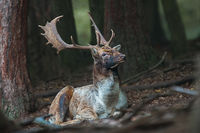 Fallow deer stag lying on the ground in dark forrest with head up high.
