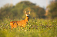 Roe deer buck with asymmetrical antlers standing alerted on a meadow
