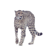 Digital painting of cheetah on white background