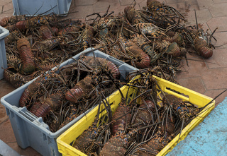 Frischer Lobster auf dem Fischmarkt in Puerto Ayora, Insel Santa Cruz, Galapagos Inseln, Ecuador