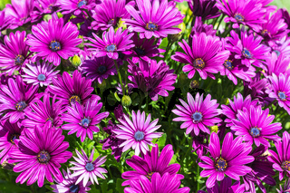 flowerbed with many Bellis flowers in spring