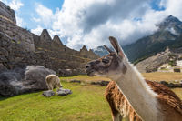 Lamas at Machu Picchu, UNESCO World Heritage Site in Peru.