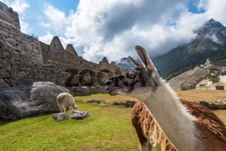 Lamas at Machu Picchu, UNESCO World Heritage Site in Peru.