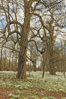 UK Berkshire  Snowdrops In The Woods