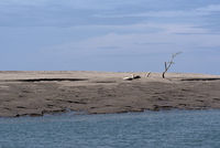 Dead tree on a sandbank in the estuary of the Rio Platanal Panama