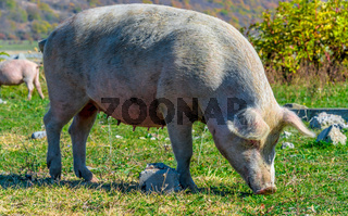 Freely grazing pig on a traditional organic farm.