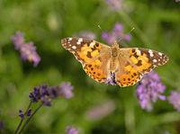 Cosmopolitan butterfly