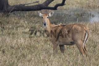 female nilgai or blue cow who stands on a boggy meadow and eats grass