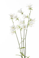 White bellflower (Campanula) on a white background