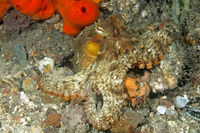 Common Sydney Octopus, Octopus tetricus