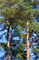Pine trees close-up against blue sky. Natural background