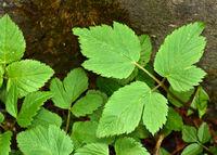 wild masterwort, ashweed, bishopswort, goatweed, pigweed, bishopsweed,