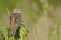 Skylark * Alauda arvensis * singing while perched on top of a plant