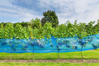 Row of grape plants in dutch vineyard