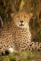 Close-up of male cheetah lying under bush