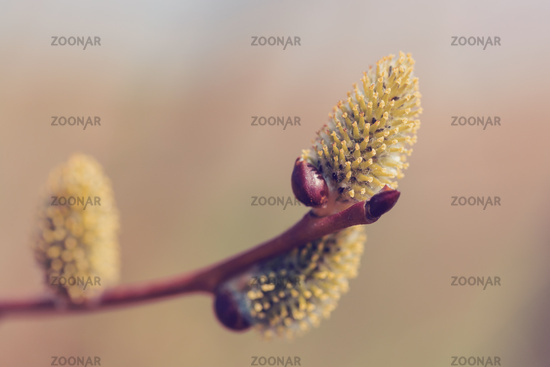 blossomed sprig Weeping willow