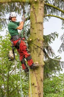 European arborist climbing in fir tree