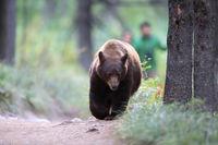 American black bear (Ursus americanus), Glacier National Park