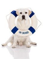 Labrador dog with a sailor buoy