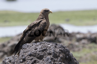 Black kite that sits on a large rock in the African savanna near the lake