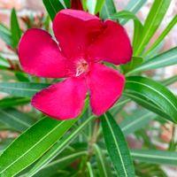 Red oleander blossom