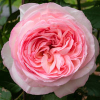 Shrub rose 'Eden rose 85', Rosa