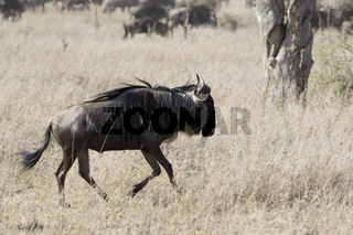 White bearded Wildebeest running through the savannah on a hot day during the dry season
