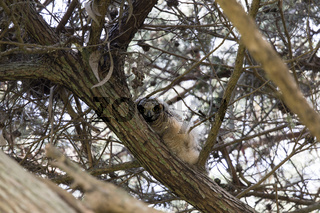 Coastal Great Horned Owl Chick.