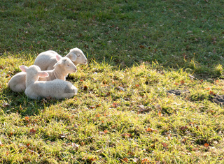 three young white and black lambs cuddling and laying next to each other on a grassy field