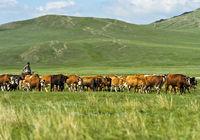 Rinderherde grast in der Steppe